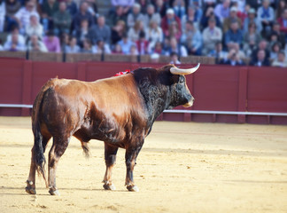 Fighting bull  from Spain. Brown bull