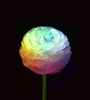 Isolated rainbow bloom on black background