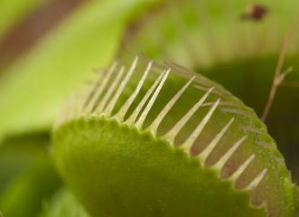 Venus flytrap macro