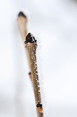 Dried twig covered with frost