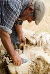 Sardegna, vecchio pastore tosa le pecore nella vecchia maniera