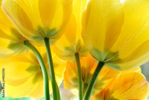 Zdjęcia na płótnie, fototapety na wymiar, obrazy na ścianę : Yellow tulip flowers