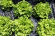 salades du jardin