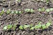 plants de petits poids
