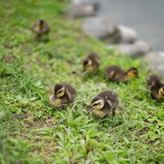 Small baby ducks