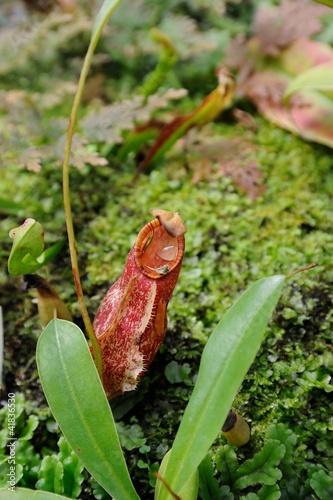A tropical pitcher plant (monkey cup)