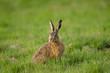 Europäischer Feldhase, Brown hare, Lepus europaeus