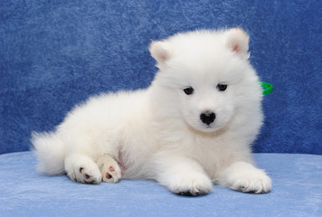 Beautiful Samoyed (or Bjelkier) puppy looking into the camera