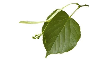 Das Blatt eines Lindenbaumes