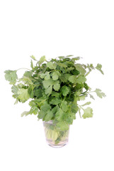 Cilantro on white