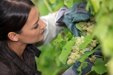 Grape grower examining her grapes