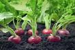radish growing in the garden