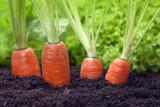 carrots growing in the garden