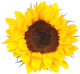 Yellow sunflower on white
