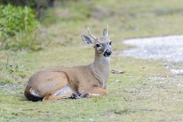 key deer, odocoileus virginianus clavium