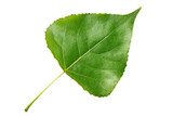 Green leaf poplar isolated on white background
