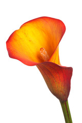 Single flower of an orange calla lily