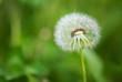 Dandelion against nature