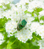 Beetle on spring flower