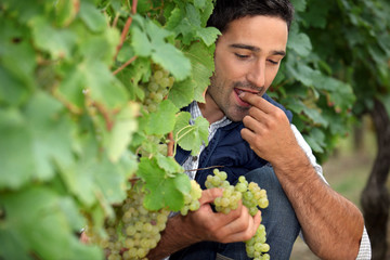 Man eating grapes in vineyard