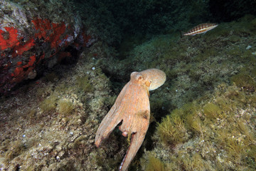 polipo polpo cefalopode mediterraneo