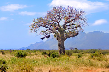 Baobab in African savanna