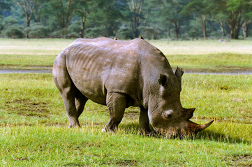 Rhino in the African savanna