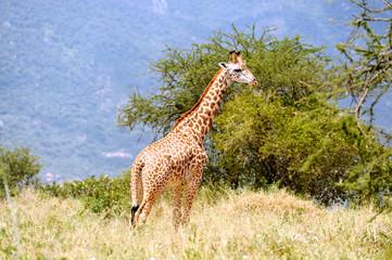 Giraffe in african savannah