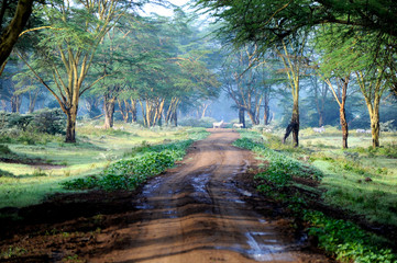 The road in mysterious forest with few zebra on the road