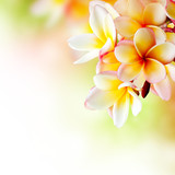 Fototapety Frangipani Tropical Spa Flower. Plumeria. Border Design
