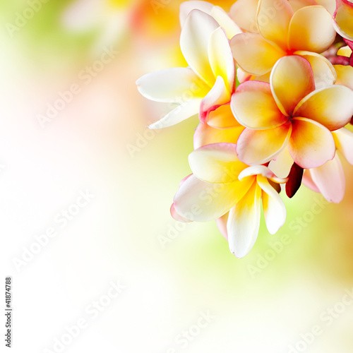 Staande foto Frangipani Frangipani Tropical Spa Flower. Plumeria. Border Design
