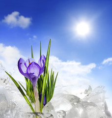 Spring crocus and ice with blue sky and sun