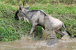 Wildebeest attacked by Crocodile.