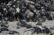 Wildebeest crossing the Mara river.