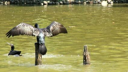 river cormorant