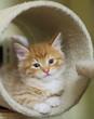 Gattino siberiano sul tiragraffi