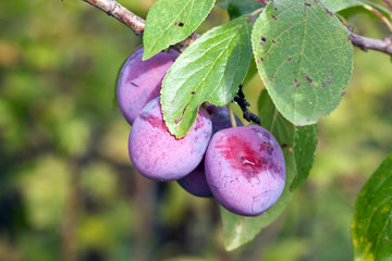 ripe fleshy plums on the branch