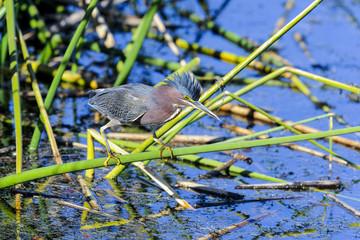 green heron,  butorides virescens