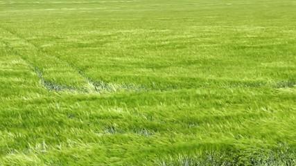 Wind in the Barley field