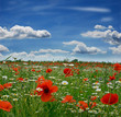 Springtime: field of poppies with blue sky and clouds
