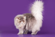 Persian kitten in the violet background