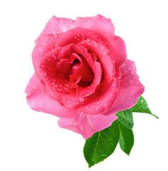 Rosebud. Isolation.