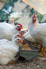 white hens eating grain