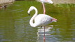 White flamingo are fed on shoal standing on one foot