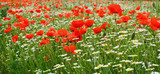 Springtime: field of poppies and marguerites