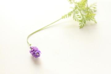lavender on white background