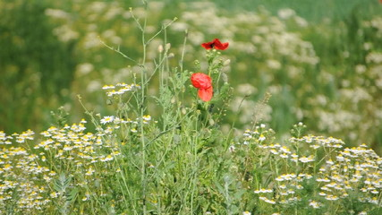 Feld mit Mohnblumen und Kamille