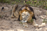 Male asiatic lion laying down, India. poster