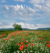 Spring landscape: field of poppies with blue sky and clouds