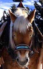 cavallo criniera bianca